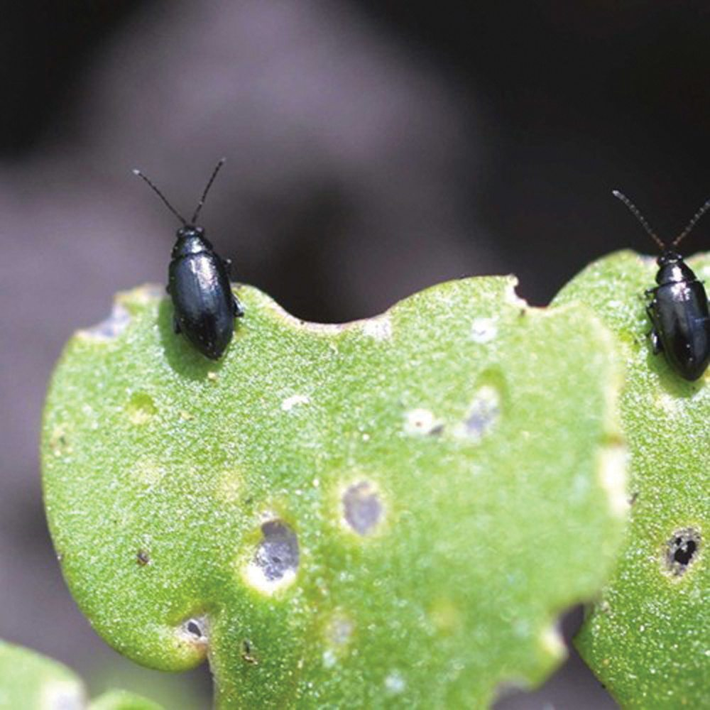 Flea beetles on canola leaf