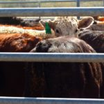 Snow didn't dampen cattle volumes