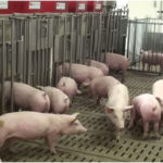 Precision pig feeder faces market delays