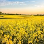 Canola futures see support despite bearish carry-out