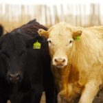 Fed cattle markets are expected to show strength