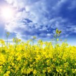 Canola bounces back from sell-off in U.S. soybeans