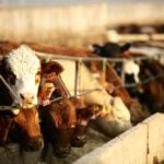 U.S. futures support cattle values against rising loonie