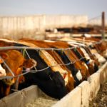 Beef supply expectations drag on Manitoba cattle auctions