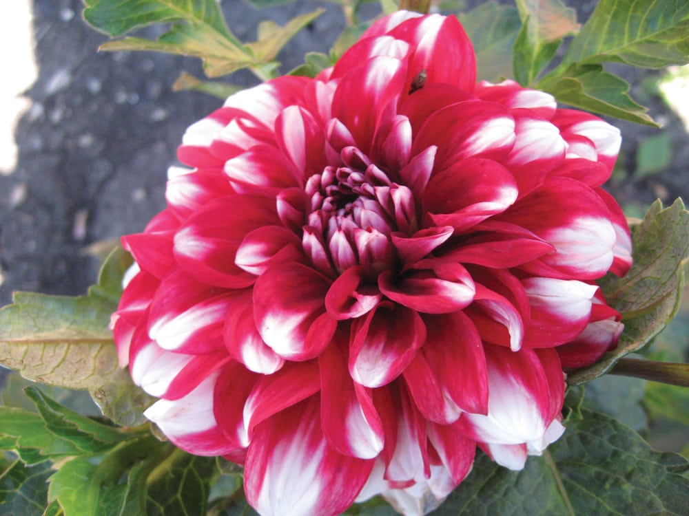 Dahlias Dont Disappoint Manitoba Co Operator