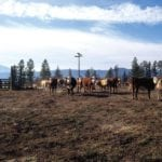 Cattle market keeps holding steady as summer draws near