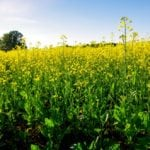 Changing weather alters sclerotinia strategies