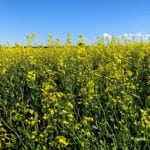Bargain buying of U.S. soy supports ICE canola futures