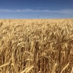 Western Canadian wheat bids finish week mixed