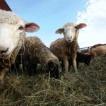Fall sheep herd reduction in evidence
