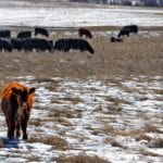 Holiday slow season nears for Manitoba cattle sales