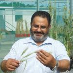 Harvesting wild genes boosts resistance