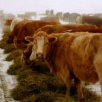 Winter weather drags on Manitoba cattle auction action