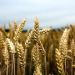 U.S. wheats get limited nod for forage use