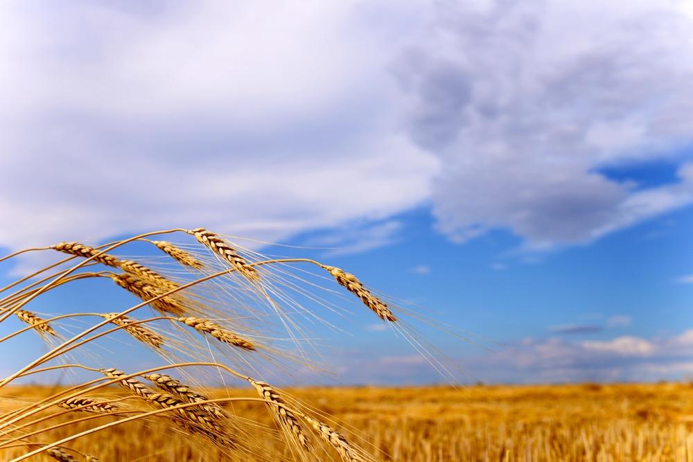 Landscape featuring a grain field.