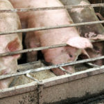Manitoba prepares for African swine fever