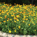 Using patches of annuals in the landscape