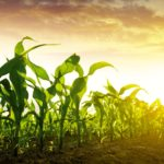 Slow U.S. corn planting a drag on cattle prices