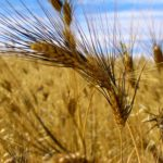 Western Canadian wheat bids up in all classes