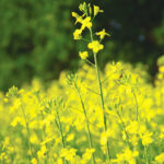 Decision time on sclerotinia control