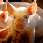 EU fights 'urgent challenge' of African swine fever spread
