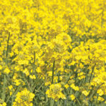 Canola win for Canada at WTO could be a