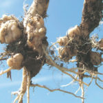 What does the new resistance-evading clubroot mean for Manitoba canola growers?