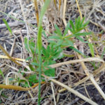 Fall management key to weed resistance