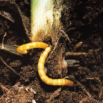 Are wireworms
