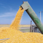 What factors influence corn test weight?