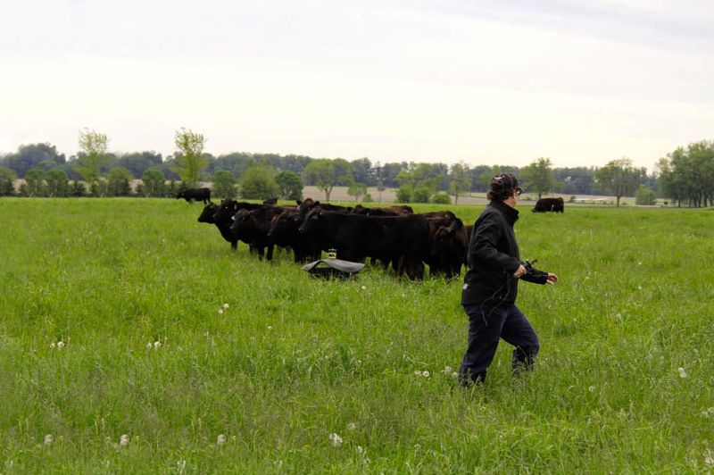 Man in field with cattle.