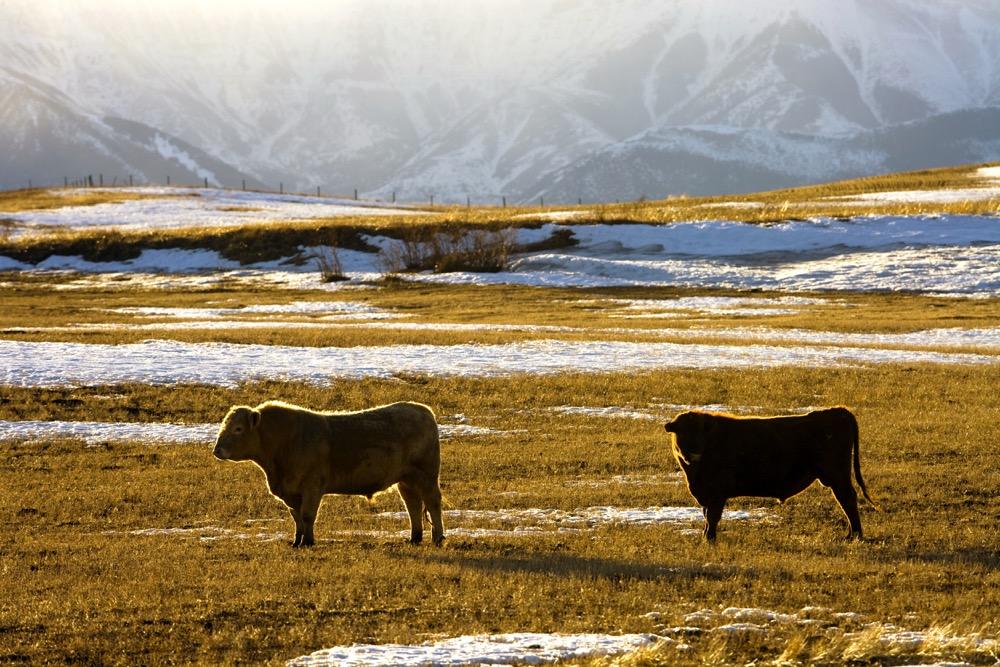 Bovine tuberculosis in cattle