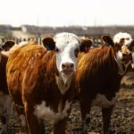Beef Watch: Canadian cattle herd steady, U.S. calf numbers grow