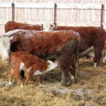 Factors that hinder calf immunity