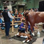 Bovine calving simulator makes its debut at Agribition