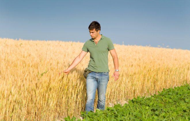young farmer touching ripe golden wheat in field